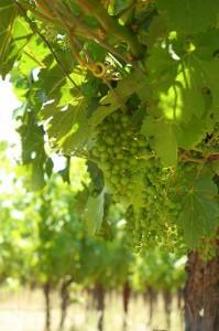 Chardonnay Rebsorte Weißwein